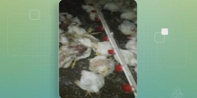 Com greve dos caminhoneiros, mais de 1 mil frangos morrem por falta de ração no...