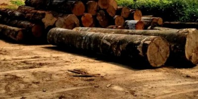 FISCALIZAÇÃO: Polícia Ambiental apreendeu 5 mil metros cúbicos de madeira ilegal