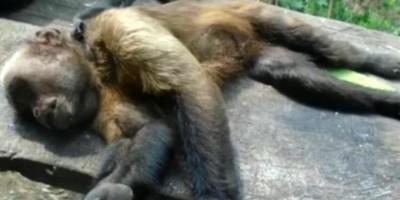 ALERTA – Macacos encontrados mortos são diagnosticados com febre amarela em RO