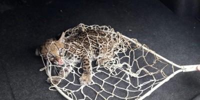 Filhote de jaguatirica é resgatado em avenida de Porto Velho