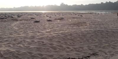 Mais de meio milhão de tartarugas serão soltas neste final de semana no Rio Guaporé,...