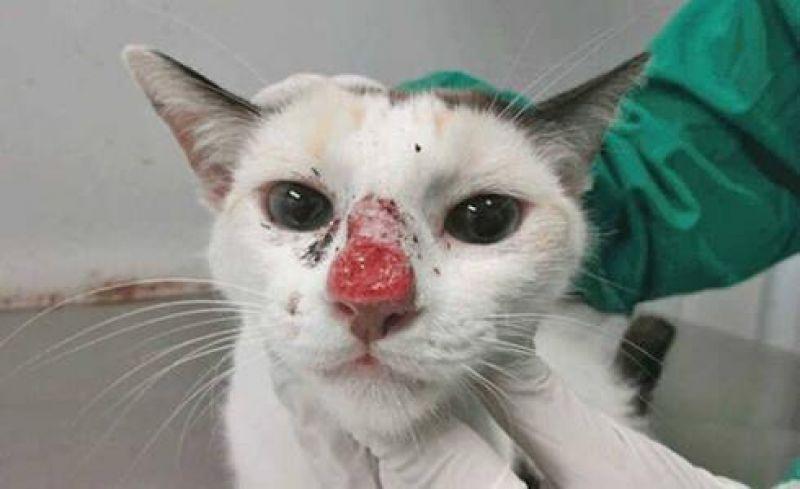 Saúde Alerta para cuidados com surto de esporotricose, conhecida doença do gato