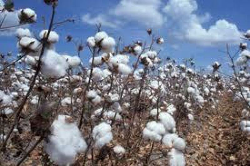 Rondônia é o 3º produtor regional de Algodão