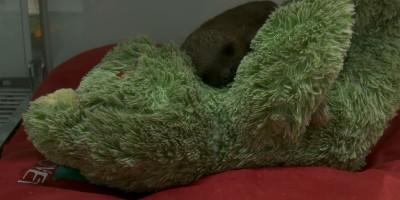 Filhote de preguiça 'chora' após perder a mãe e recebe tratamento para voltar à...