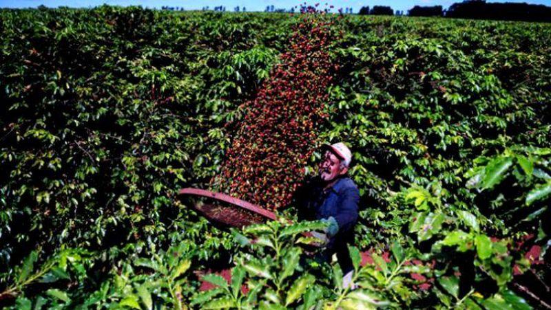 IMPULSO: Produção de café supera 2 milhões de sacas em 2019