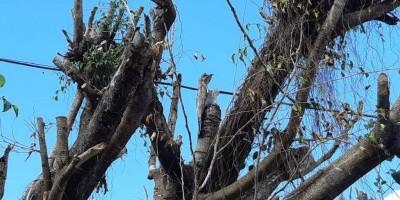 Urutau faz seu ninho em frente à prefeitura de Rolim de Moura