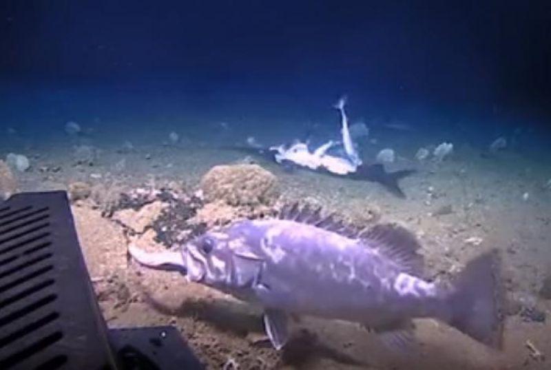 Vídeo mostra tubarão sendo engolido vivo por peixe gigante