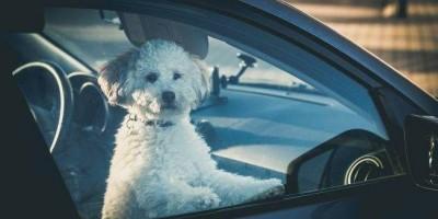 Poodle é esquecido dentro de veículo e é resgatado por bombeiros