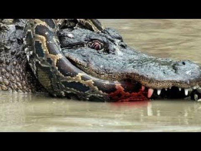 Vídeo flagra batalha entre Sucuri e Crocodilos