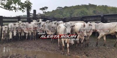 Gado furtado em Fazenda na região de Alto Alegre é recuperado pela polícia em Vilhena