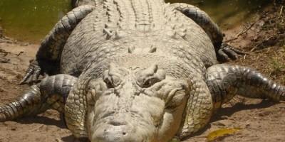 Luta brutal! Pescador arranca olho de crocodilo após ser atacado na Austrália
