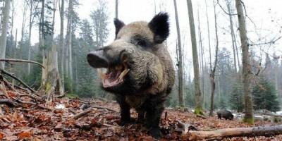 Traficantes escondem cocaína no mato e porcos selvagens comem tudo