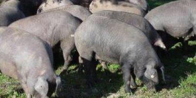 VILHENA: Porcos de quase 100 quilos são furtados na área rural