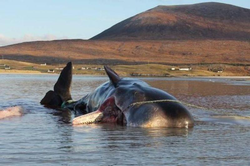 Baleia é encontrada morta com 100 kg de lixo no estômago