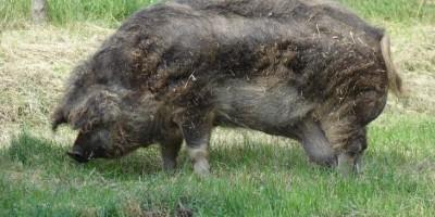 Fazendeiro passa mal e é devorado pelos porcos que criava