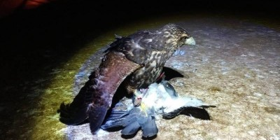 Usando gaviões, prefeitura captura e sacrifica mil pombos que infestavam escolas...