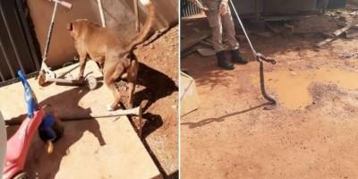 Pit bull é picado três vezes, mas salva criança de ataque de cobra no Mato Grosso