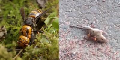 'Vespas assassinas' assustam moradores dos EUA: Vídeo mostra vespa matando rato em menos...