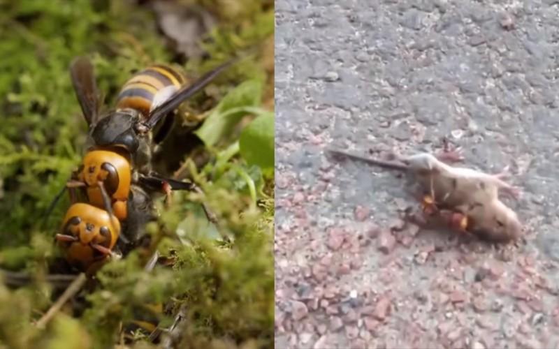 'Vespas assassinas' assustam moradores dos EUA: Vídeo mostra vespa matando rato em menos de 1 minuto; Veja os vídeos