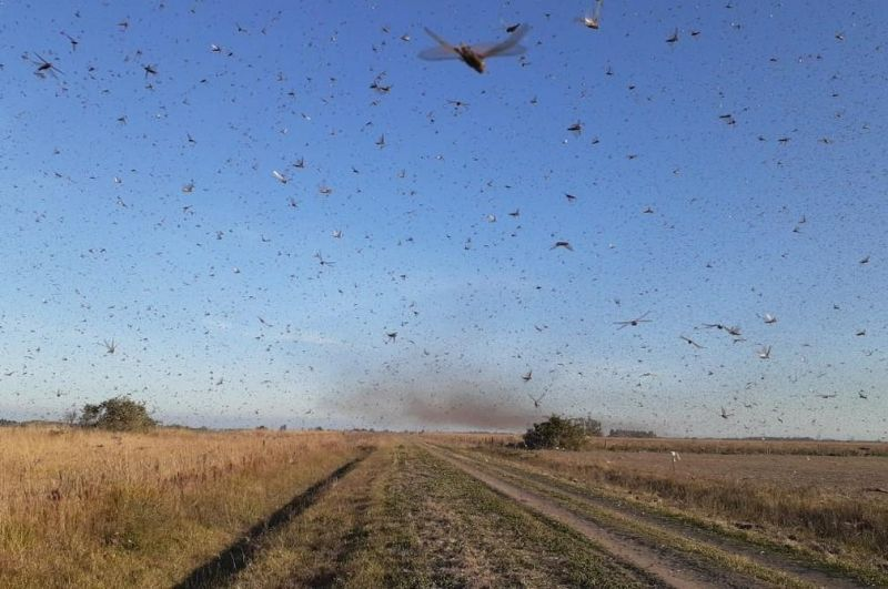 Nuvem de gafanhotos chega à Argentina e se aproxima do Brasil; veja o vídeo