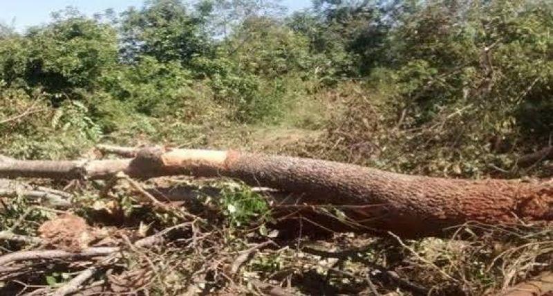 Filho presencia pai morrendo esmagado durante derrubada de árvore na BR-319