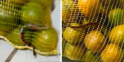 Mulher encontra cobra coral dentro de saco de laranja comprado em atacadão em SP; veja o...