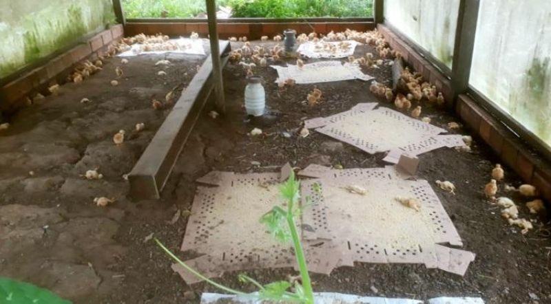 Mulher tem granja invadida e mais de 100 pintinhos são mortos pisoteados em Jaru