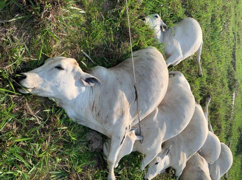 Fio de alta tensão cai e mata mais de 10 cabeças de gado eletrocutadas em sítio em RO